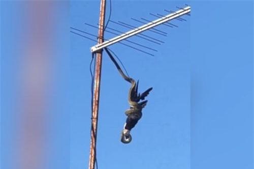 CLIP: Trăn 'khủng' xử tử chim giữa không trung