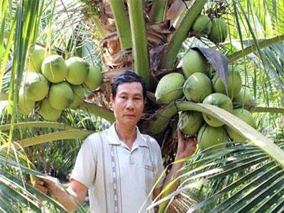 Bến Tre: Trồng lúa thu bèo bọt, chuyển trồng dừa xiêm xanh, bán cháy hàng