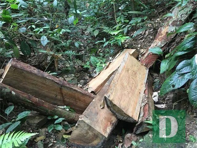 Cận cảnh rừng gỗ lim bị chặt phá tan hoang vừa phát hiện - 12