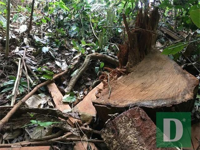 Cận cảnh rừng gỗ lim bị chặt phá tan hoang vừa phát hiện - 14