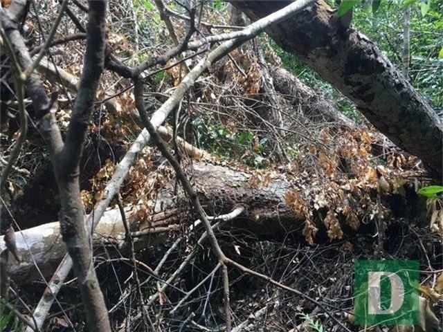Cận cảnh rừng gỗ lim bị chặt phá tan hoang vừa phát hiện - 15