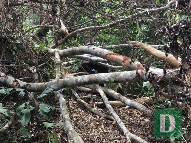Cận cảnh rừng gỗ lim bị chặt phá tan hoang vừa phát hiện - 16