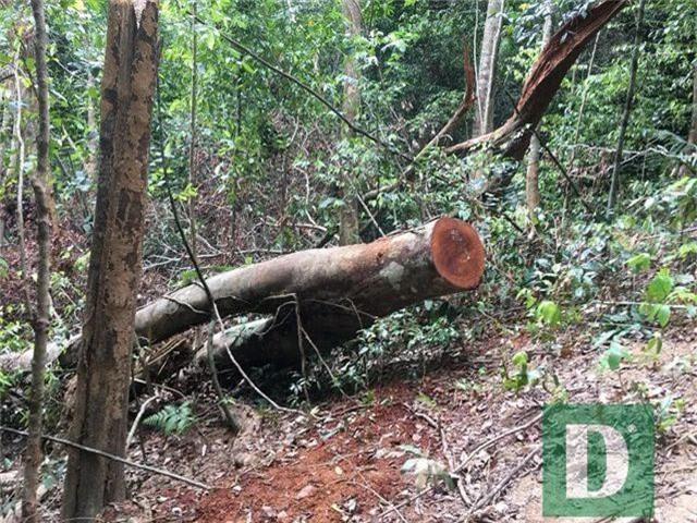 Cận cảnh rừng gỗ lim bị chặt phá tan hoang vừa phát hiện - 2