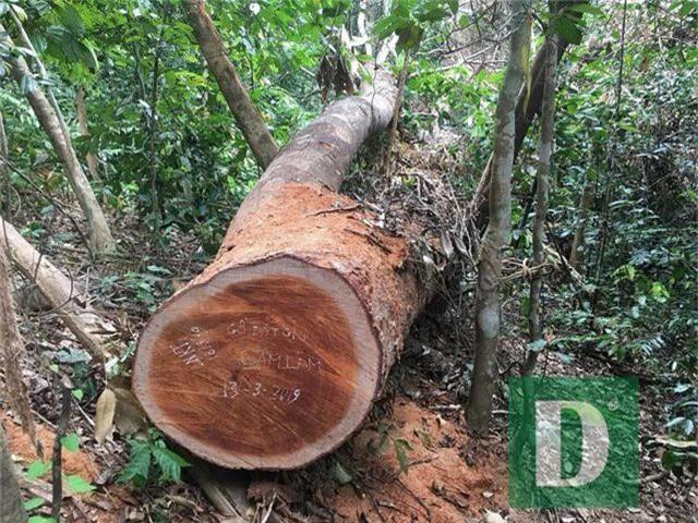 Cận cảnh rừng gỗ lim bị chặt phá tan hoang vừa phát hiện - 3