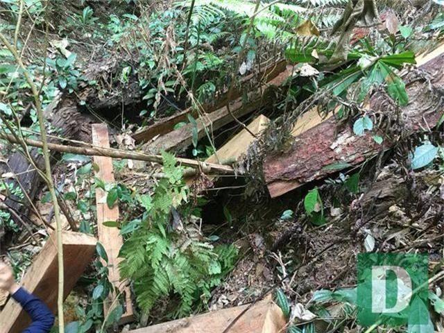 Cận cảnh rừng gỗ lim bị chặt phá tan hoang vừa phát hiện - 4