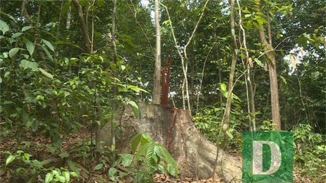 Cận cảnh rừng gỗ lim bị chặt phá tan hoang vừa phát hiện - 5