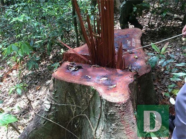 Cận cảnh rừng gỗ lim bị chặt phá tan hoang vừa phát hiện - 6