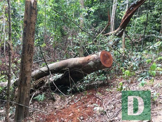 Cận cảnh rừng gỗ lim bị chặt phá tan hoang vừa phát hiện - 7