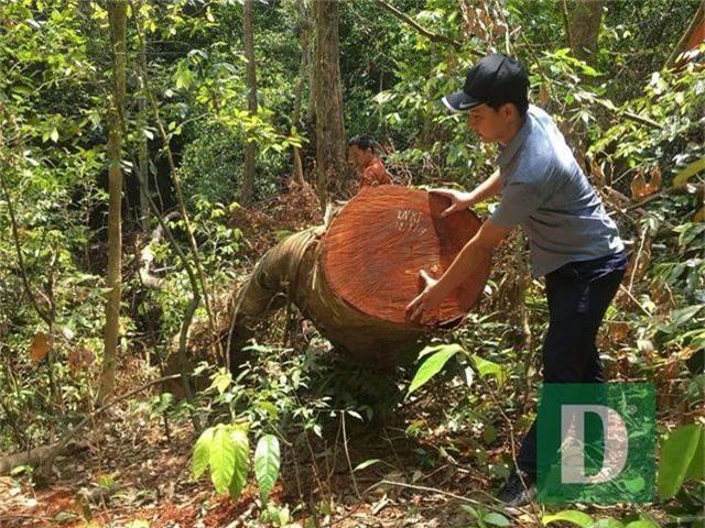 Cận cảnh rừng gỗ lim bị chặt phá tan hoang vừa phát hiện - 8