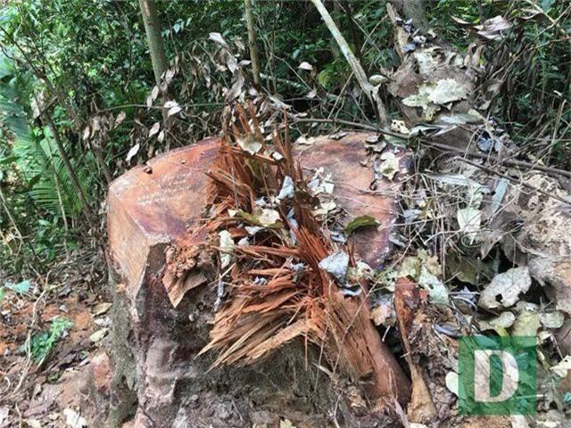 Cận cảnh rừng gỗ lim bị chặt phá tan hoang vừa phát hiện - 9
