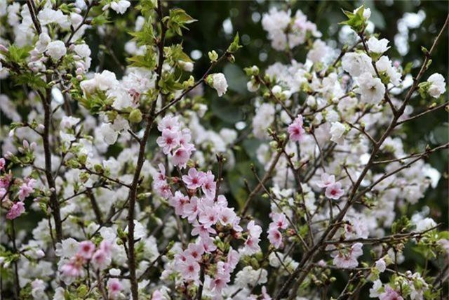 Ngắm hàng vạn cành hoa anh đào khoe sắc bên hồ Gươm - 4