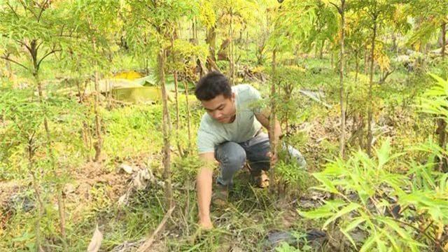 Phú Yên: kiếm cả chục triệu đồng từ trồng cây đinh lăng lấy củ - 1