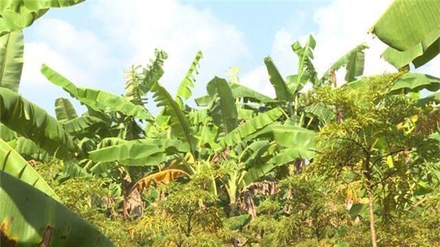 Phú Yên: kiếm cả chục triệu đồng từ trồng cây đinh lăng lấy củ - 2