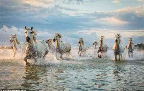 Khoảnh khắc ngựa hoang phi nước đại đẹp như ma thuật