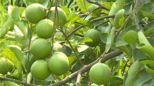 Trà Vinh: Trái cây đặc sản được mùa, được giá - Ảnh 2.