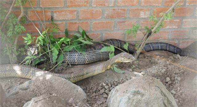 Cặp rắn khủng đúng là rắn hổ mang chúa cực độc - 2