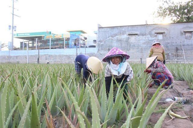 Nha đam được mùa lại được giá, nông dân Ninh Thuận phấn khởi - 1