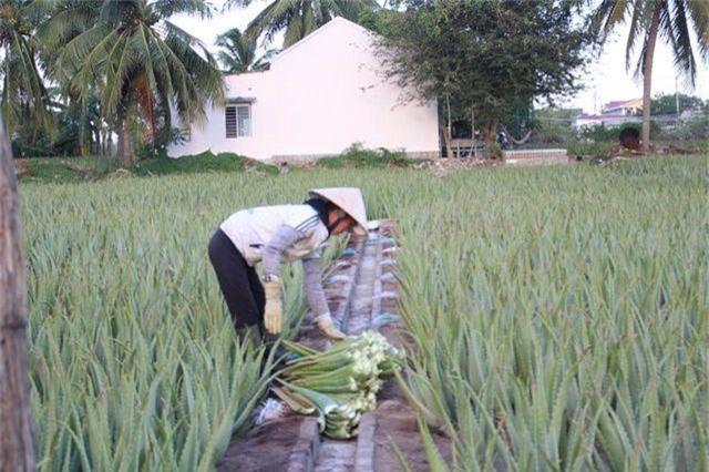 Nha đam được mùa lại được giá, nông dân Ninh Thuận phấn khởi - 4