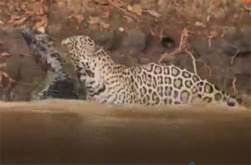 CLIP: Báo đốm lao xuống sông hạ sát cá sấu