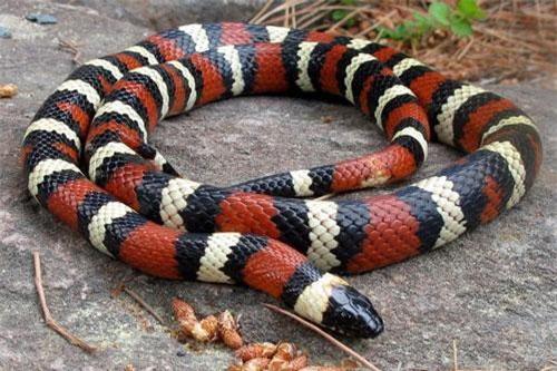 Huyền bí vẻ đẹp loài rắn được nhiều người nuôi làm cảnh