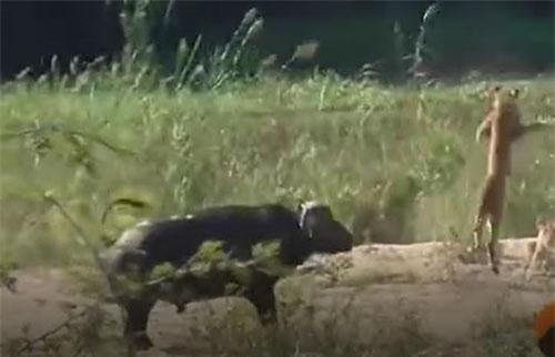 CLIP: Một mình trâu rừng tấn công đàn sư tử, giải cứu kỳ đà