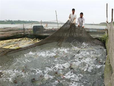 Phú Thọ: Nuôi cá đặc sản dày đặc trong lồng, bán 250-600 ngàn đồng/kg