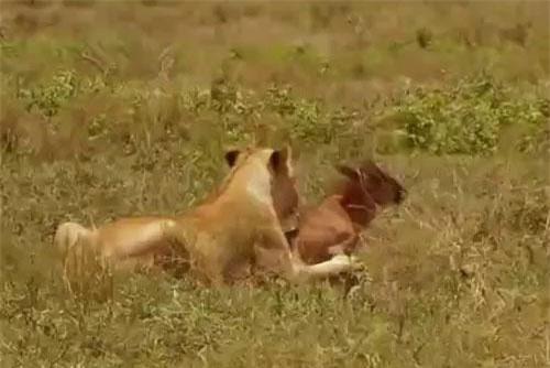 Linh dương đầu bò con bị lạc đàn, vô tình trở thành miếng mồi ngon cho báo săn háu đói.