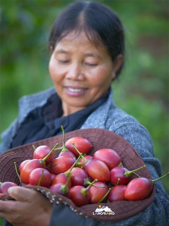 Cà chua thân gỗ Magic-S người dân vừa thu hoạch (Ảnh: TL)