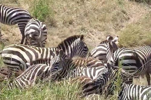 Bầy ngựa vằn trở thành mục tiêu săn đuổi đầy 'kịch tính' của những con sư tử háu đói.