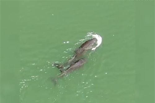 Cá heo mẹ mang xác con bên mình không rời dù chỉ một giây.