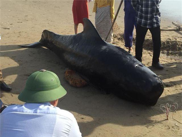 Xác cá voi nặng 1 tấn dạt vào biển Hà Tĩnh - 2