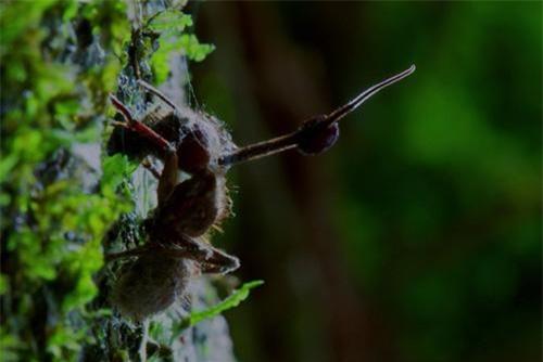 Nấm Ophiocordyceps Unilonymousis ký sinh và dần chiếm lấy cơ thể của côn trùng để làm nơi sinh sản.