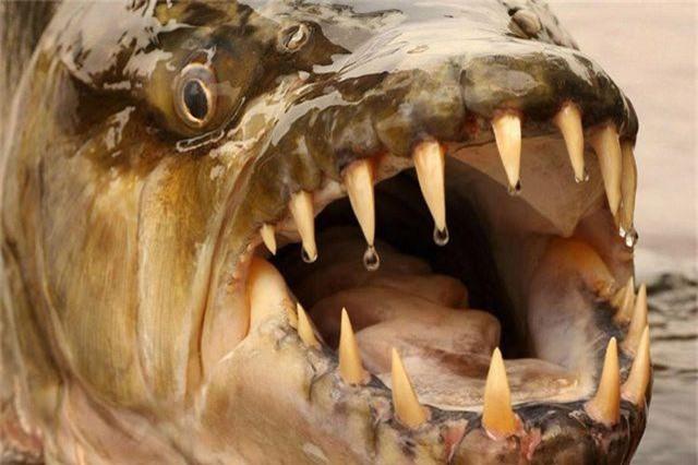 """""""Quái ngư"""" săn mồi cá hổ - Ăn thịt cả cá sấu, gieo rắc nỗi kinh hoàng dưới nước - 1"""