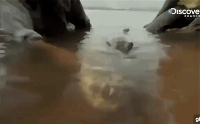 """""""Quái ngư"""" săn mồi cá hổ - Ăn thịt cả cá sấu, gieo rắc nỗi kinh hoàng dưới nước - 3"""
