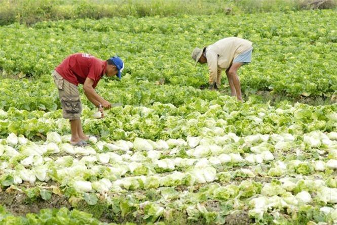 Để được cấp mã số vùng trồng, tổ chức, cá nhân phải có diện tích vùng trồng tối thiểu 10ha, sản xuất theo tiêu chuẩn VietGAP.