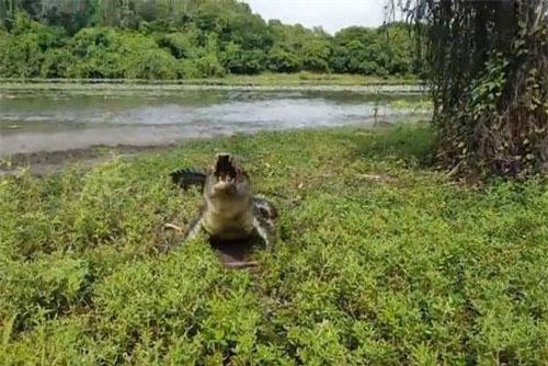 'Lạnh gáy' trước cảnh cá sấu khổng lồ lao lên bờ cướp cá của cần thủ
