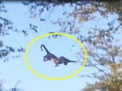 CLIP: Báo đốm phi thân trên cây, bắt gọn sóc