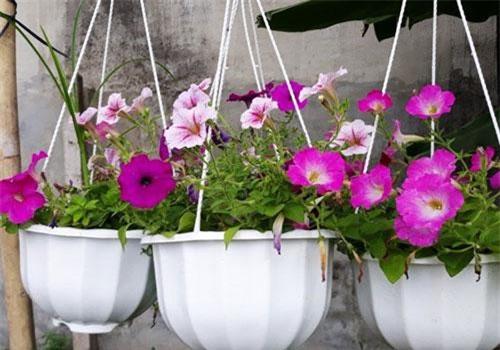 Hoa dạ yến thảo sinh trưởng phát triển tốt, thích nghi tốt với điều kiện khí hậu TP.HCM.