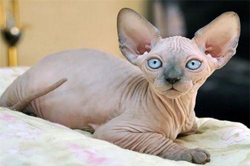Sphynx - giống mèo xấu xí nhưng đắt nhất thế giới