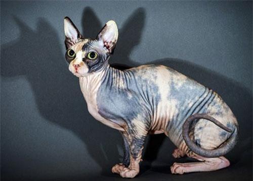Sphynx là giống mèo rất thông minh, hiếu động và biết nghe lời.