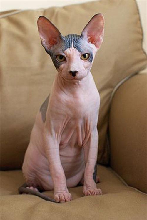 Đa phần mèo Sphynx đều rất thân thiện và dễ gần, cả với đồng loại lẫn con người.