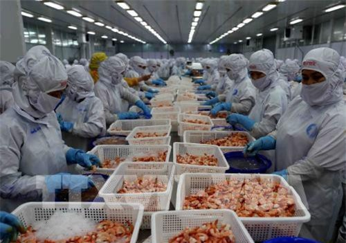 Doanh nghiệp Việt Nam chế biến tôm đông lạnh xuất khẩu. Ảnh: Vũ Sinh - TTXVN