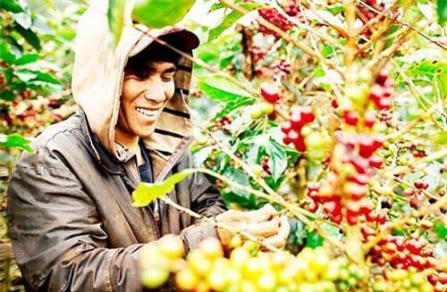 Ngành cà phê dự báo xuất khẩu giảm do cung vượt cầu