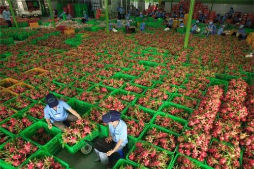 Xuất khẩu rau quả giảm nhẹ, đạt hơn 2,3 tỷ USD. Ảnh: Thành Trung/BNEWS/TTXVN