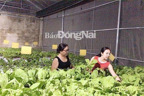 Chị Nguyễn Thị Hồng Thúy (bên phải) giới thiệu sản phẩm rau thủy canh với khách hàng