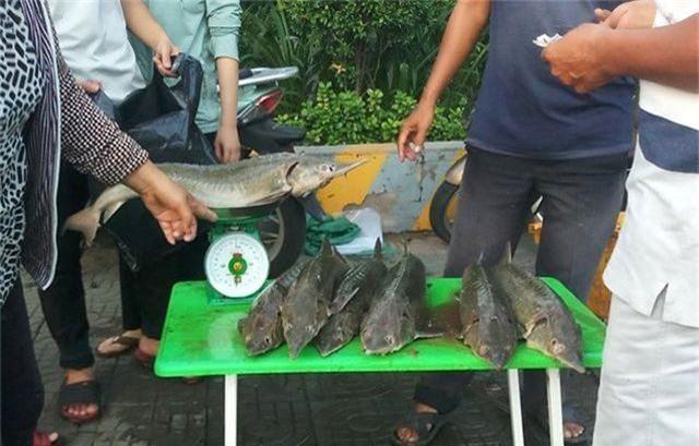 """Dân TPHCM """"đổ xô"""" mua cá tầm 100.000 đồng/kg ủng hộ người nuôi cá vùng lũ - 2"""