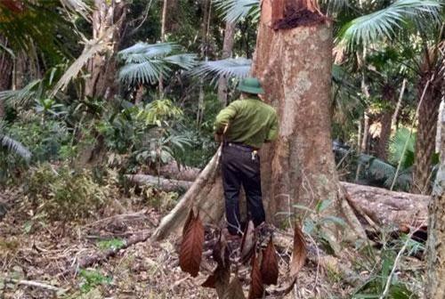 Tổng số có 99 cây gỗ gồm nhiều chủng loại khác nhau đã bị đốn hạ, nằm rải rác ở nhiều nơi.