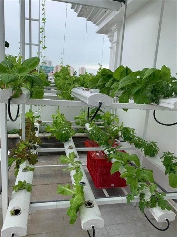 Các loại rau được nuôi trồng tốt nên lá rất to