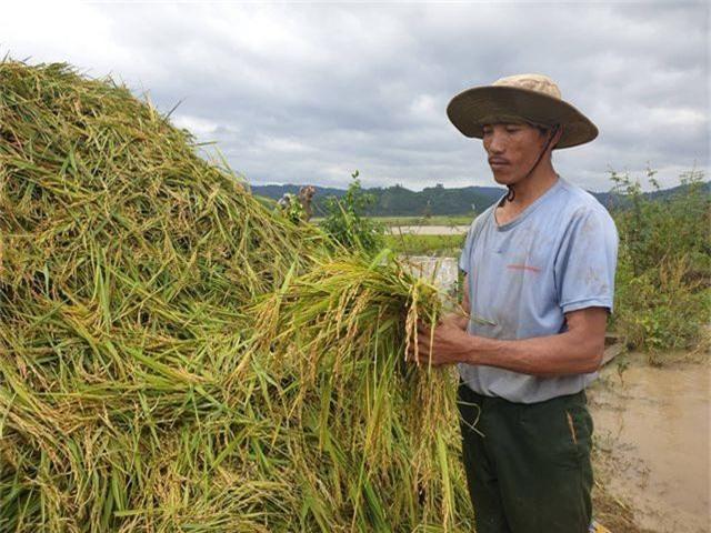 Vỡ đê, 1.000 ha lúa chìm trong biển nước - 4