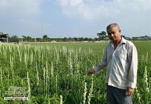Trồng hoa huệ thu nhập gấp cả chục lần trồng lúa.